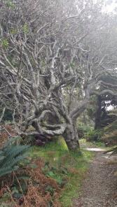 Tanglewood Tree